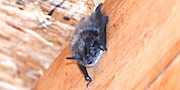 Bat in House-2, compliments of Chris Dag